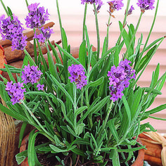True Lavender  I am growing from Ferry Morse seeds - doing well/ how cold tolerate? I am looking for??