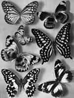 Il Friuli - La farfalla, un'anima che ritorna