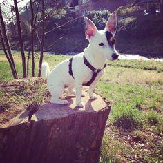 Shila Jack Russel Terrier | Pawshake Magdeburg