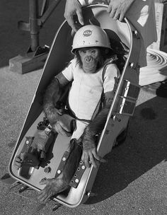 Ham the Chimp, the first Hominidae launched into outer space, in a Mercury capsule on a Redstone rocket, January 31, 1961.
