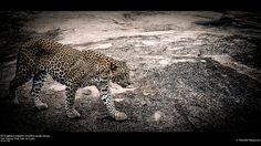 Sri Lankan Leopard (Panthera pardus kotiya), Yala National Park, Sri Lanka (www.secretlanka.com) Panthera Pardus, Leopards, Places Ive Been, National Parks