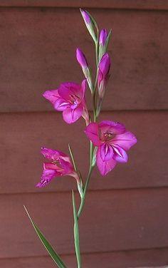 Pink Gladiolus - Bing Images