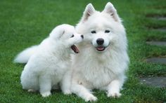 """Teresa Heaver has been breeding and caring Samoyed puppies for over 35 years. """"Teresa Heaver"""" providing general health, hips, and eye for all of their puppies and adult dogs. White Puppies, White Dogs, Dogs And Puppies, White Husky, Dogs 101, Bear Dogs, Puppies Tips, Fluffy Dog Breeds, Fluffy Dogs"""