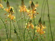 Bulbine frutescens  Fruthttp://gardencoachpictures.files.wordpress.com/2011/09/bulbine-frutescens-hallmark_001.jpg
