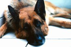 Sad German Shepherd!