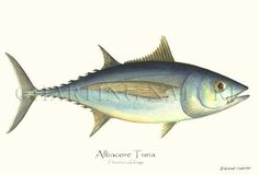 Sustainability-Albacore Tuna fish illustration,  A Sustainable Fish, 9x12 Print $19.95