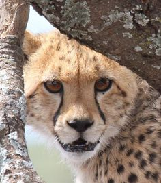 Visit our website for more informatie about the Cheetah!  (Foto: Carla Bolk)