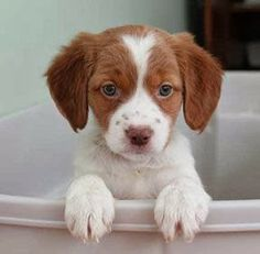 Brittany Spaniel Puppies.. My dream dog Haben will!