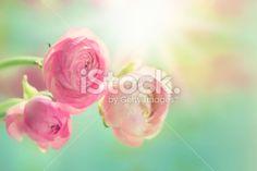 Pink ranunculus Royalty Free Stock Photo