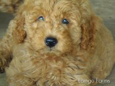 Precious goldendoodle from Lamgo Farms!