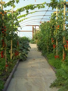 My polytunnel showing a heavy crop of tomatoes early September 2013