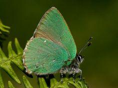 Green Hairstreak butterfly http://incornwall.info/falmouth/falmouth-wildlife/falmouth-butterflies/