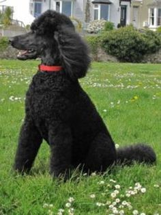 standard poodles   We had our first black standard poodle puppy in 1993 and bred from her ...