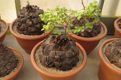 Caudiciform Plants, Dioscorea elephantipes