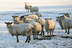 Sheep graze in a snow-covered field in Hatton, Derbyshire after temperatures plummeted below freezing last night.......
