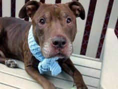 Check out Joseph's profile on AllPaws.com and help him get adopted! Joseph is an adorable Dog that needs a new home. https://www.allpaws.com/adopt-a-dog/pit-bull-terrier/3750578?social_ref=pinterest