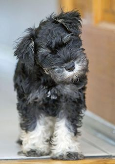 Buttercup the Miniature Schnauzer has such a sweet name to match her look and personality