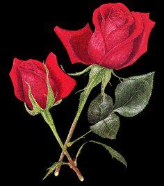 Imagem sobre rosas, 27