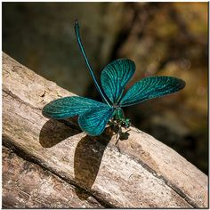 A turquoise dragonfly