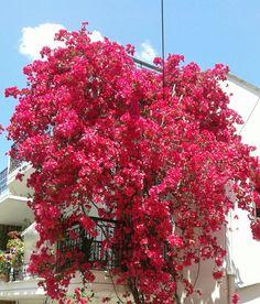 Awesome boucainvilea in two balconies in Arta, Greece