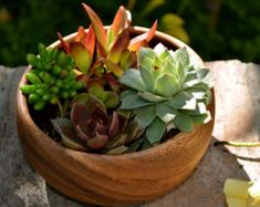 Green Succulent Surprise in acacia wooden planter pot
