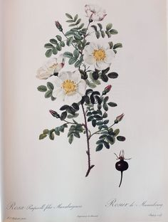 Redoute Vintage Rose Print - Rosa Pimpinellifolia Mariaeburgensis - Burnet Rose