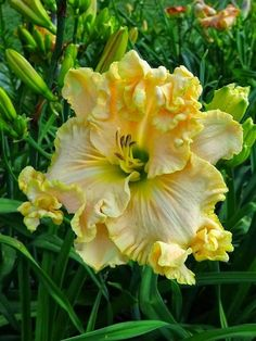 'Boundless Beauty' Daylily - sure looks like it from the unopened ones in the background. It kind of looks like it's crossed with a Hibiscus! Unusual Flowers, Amazing Flowers, Yellow Flowers, Beautiful Flowers, Beautiful Gorgeous, Absolutely Gorgeous, Beautiful Things, Arte Floral, Day Lilies