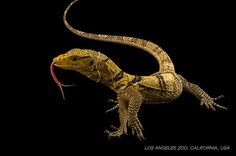 The Butaan lizard (also known as Gray's monitor)