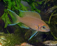 Chanda ranga: Neolamprologus Brichardi | There are so many morphs of brichardi each is a little different!