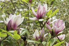 Så får du din Magnolia att trivas!