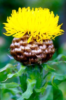 Close up of yellow flower A Young. Yellow Flowering Plants, Bachelor Buttons, Sea Holly, Night Aesthetic, Yellow Flowers, Planting Flowers, Garden Ideas, Plants, Flowers