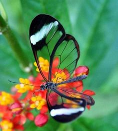 Transparent glass winged butterfly.