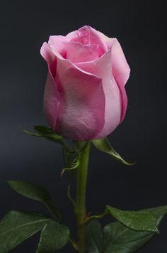 FUSSION - Eden Roses Ecuador #Flowers #Roses #Ecuador #PrimeroEcuador #Ecuador #Rose #MitadDelMundo #ThePleasureOfBeauty #edenrosesec #EdenRosesEcuador