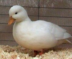 I'm gonna get a duck like this :)  Got to sell some more chickens first...