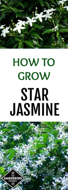 Looking for a fast growing, low-maintenance plant for your southern garden? The star jasmine might be just the thing. Also known as confederate jasmine, star jasmine is hardy in USDA plant hardiness zones through Jasmine Star, Jasmine Tree, What Is Jasmine, What Is Gardening, Gardening Zones, Gardening Tips, Organic Gardening, Indoor Gardening, Balcony Gardening