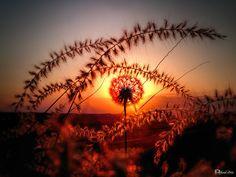 Dandelion Flower (Taraxacum) - Karahindiba Çiçeği  Gün Batımı...