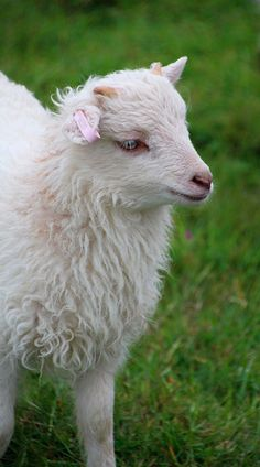 White North Ronaldsay lamb with tiny horns! #biodynamic #organic #rarebreed #NorthRonaldsay #lamb #whitefleece #cutelamb #cute