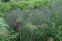 030 ter Nursery Piet Oudolf ter Foeniculum Giant bronze, Allium and Persicaria