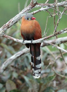 Foto chincoã-de-bico-vermelho (Piaya melanogaster) por Anselmo d`Affonseca | Wiki Aves - A Enciclopédia das Aves do Brasil