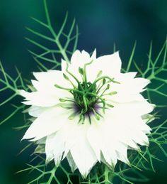 Nigella damascena 'Double White'