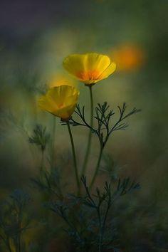 Basket of Gold-type California Poppy. Flowers Nature, Wild Flowers, Yellow Flowers, Amazing Flowers, Beautiful Flowers, Fotografia Macro, California Poppy, Flower Wallpaper, Flower Photos