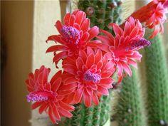 Entre flores: Cleistocactus