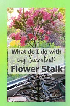 What Do I Do With My Succulent Flower Stalk - leave it, or cut it off? Yard Work, Xeriscape, Plants, Succulents, Growing Succulents, Growing Plants, Country Flower Arrangements, Flowers, Drought Tolerant Plants