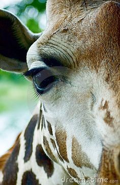Giraffe head close-up by Javarman on Dreamstime