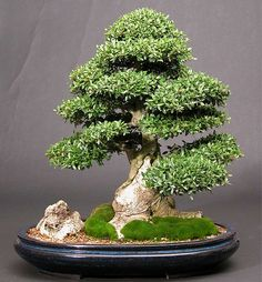 Different Types Of Bonsai Trees - Trees : Tree Photos Galleries ...