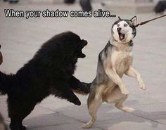 Funny Animal Pictures Of The Day 21 Pics - Funny Animal Quotes - - Siberian Husky Borzoi Tibetan Mastiff Puppy Husky Funny animal Wolf hunting: When your shadow comes alive.oo The post Funny Animal Pictures Of The Day 21 Pics appeared first on Gag Dad. Funny Animal Jokes, Dog Quotes Funny, Funny Animal Photos, Cute Funny Animals, Funny Animal Pictures, Cute Baby Animals, Funny Dogs, Funny Memes, Funny Photos