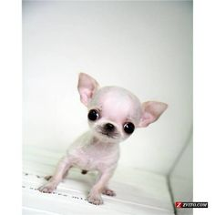 Micro Teacup Chihuahua | Micro Teacup size Chihuahua Extreme Faces! Luxury! - Madison - Animals