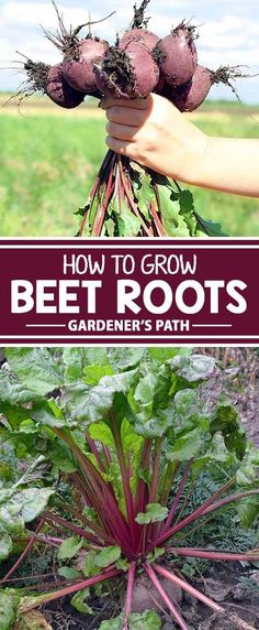 If you�re planting for spring or fall, don�t forget to put beets on your list! From ruby-red to gold and even white varieties – as well as sweeter, less beety tasting types – learn how to grow, harvest, cook, and even get healthy with these colorful roots
