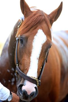 California Chrome aka Junior aka Rockstar… And now also known as the 2014 Kentucky Derby winner. Most Beautiful Animals, Beautiful Horses, Beautiful Creatures, Photo Animaliere, Horse Ears, Sport Of Kings, Thoroughbred Horse, Racehorse, All The Pretty Horses