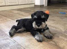 Miniature Schnauzer Puppies, Schnauzer Puppy, Schnauzers, Cute Puppies, Cute Dogs, Dogs And Puppies, Standard Schnauzer, Adoptable Beagle, Dog Id